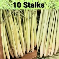 10 Live Lemongrass Stalks Cymbopogon Plant Herbal, Mosquito Repellent, Citronell
