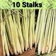 10 Lemongrass Stalks Live Cymbopogon Plant Herbal, Mosquito Repellent, Medicinal