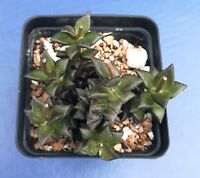 "ANACAMPSEROS ARACHNOIDES IN A 2"" POT, SEED GROWN SUCCULENT PLANT"