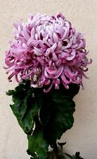 """Chrysanthemum morifolium """"Xena"""" x 1 plant. Ask for combined postage"""