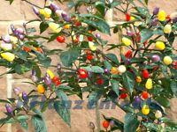 Bolivian Rainbow - 20 Samen   * bunter Regenbogen Chili * dekorativer Blickfang