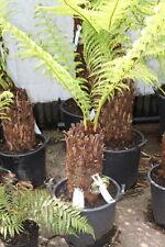 Tasmanian Tree Fern - Dicksonia Antarctica - 25cm Tall Trunk Approx 12cms Thick