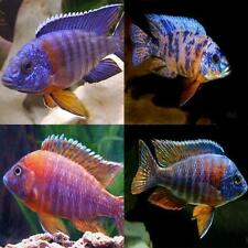 x15 AULONOCARA PEACOCK CICHLID ASSORTED FRESHWATER LIVE FISH - FREE SHIPPING