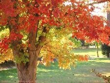 Acer buergerianum / Trident Maple, autumn colour tree, pot grown peat free, 4ft