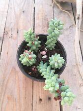 SEDUM BURRITO 4 x Hojas Leaf Cuttings suculenta Succulent plant