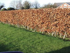 20 Green Beech Hedging Plants 2 Year Old, 1-2ft Grade 1  Hedge Trees 40-60cm