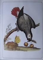 Bella Uccello Stampa ~ Africano Grigio Pappagallo ~ Eleazer Albin