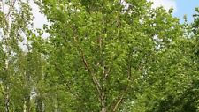 15+ Birch, Betula, Chinese Red Tree Seeds / Easy to Grow