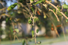Quercus virginiana - The Southern Live Oak - 10 Acorns