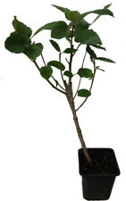 3 x Aronia Spitzensorten  - NERO - VIKING - ARON -  Apfelbeeren Pflanzen SET