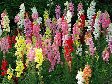 """Flowers✿GIANT SNAPDRAGON TETRA MIX✿1000 SEEDS✿Mixed Colors✿24""""-30"""" Tall"""