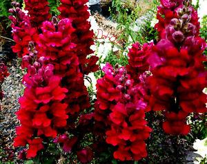 10 x PLUG PLANTS Antirrhinum Majus Black Prince Snapdragon