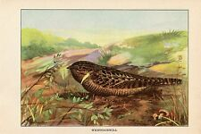 """1926 Vintage TODHUNTER BIRDS """"WHIPPOORWILL"""" GORGEOUS 90 YEARS OLD Art Lithograph"""
