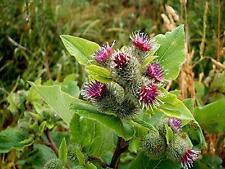 Arctium lappa , Great Burdock  200 seeds