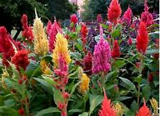 HUGE MULTI-COLORED TALL FEATHER CELOSIA! 100 SEEDS ! Comb.S/H! OLD AMISH PLANT!