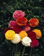 4 graines RENONCULES DES FLEURISTES EN MELANGE(Ranunculus Asiaticus)G934 SEEDS