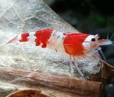 5 Crystal Red Shrimp *Sale*