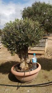 Olivenbaum Safaris Bonsai Höhe ca. 120 cm Olea Europaea Premium Qualität