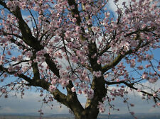 6 FRESH TREE CUTTINGS Bitter Almond Prunus Dulcis  Ideal Rootstock for Grafting