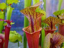 flexuosa aurea Africana Genlisea plants different species marg... violacea