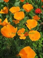 FLOWER CALIFORNIA POPPY GOLDEN WEST 2000 FLOWER SEEDS