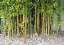 100+ fresh Timber Bamboo Seeds with instructions - Bambusa Oldhamii