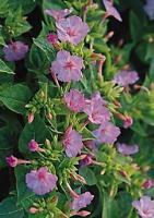 Mirabilis Four O Clock Tea Time Rose Pink Annual Seeds