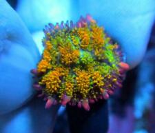 Live Coral Dreef Golden Dragon Rhodactis Mushroom, Bounce, Wysiwyg