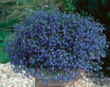 bleu cascade Johnsons picturale Pack-fleur-Lobelia 1500 graines trailing