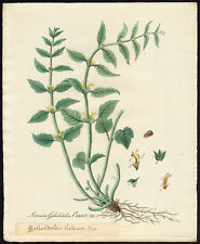 Antique Print-YELLOW ARCHANGEL-LAMIASTRUM GALEOBDOLON-758-Flora Batava-1800