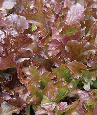 500 Graines BIO de salade Laitue à couper FEUILLE DE CHENE ROUGE