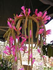 Ratte Schwanz Kaktus Aporocactus flagelliformis 4 Stecklinge