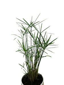 Zimmer-Zyperngras , Cyperus Alternifolius 100 Samen  Zimmerpflanze (Wasserpalme)