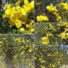 Prímula JAZMÍN JASMINUM mesnyi Temprano Floración Jardín shurb Medio RESISTENTE