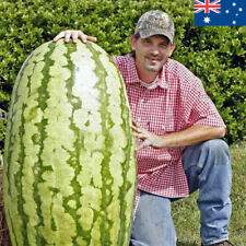 x50 Large Giant Watermelon Seeds 50 Heirloom Organic Seed AUSTRALIA