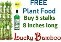 "8"" Lucky Bamboo Plants w/ FREE Plant Food, 5 Stalks Water Plant, Gift, FREE Ship"
