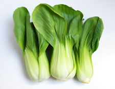 """Pak Choy Chinese Cabbage *Heirloom* (500 Seed's) """"FREE SHIPPING"""" <NON GMO>"""