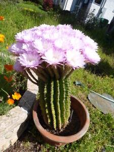 cactus Echinopsis , 5 ans à fleur rose