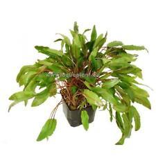 Cryptocoryne XXL im 9 cm Topf, robuste Wasserpflanze, Barschfest