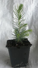 Majestic Blue Spruce, Picea Pungens Glauca,Christmas Tree, 25 - 35cm inc. Pot