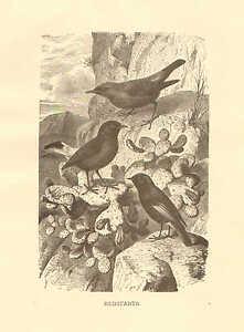 Redstarts, Desert Birds, Cactus, Vintage 1885 Antique Art Print