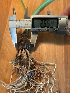 Hippeastrum fragrantissimum - VERY rare! bulb 2.6 cm