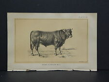 Cows Bulls Cattle Dairy Farming 1888 Engraving #056 Brown Schwyzer Bull
