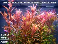 BUY 2 GET 1 FREE Rotala Rotundifolia RED Live Aquarium Plant Aquatic Plant
