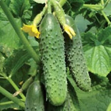 Seeds Cucumber Titus F1 Organic Russian Pickling Vegetable Seed New