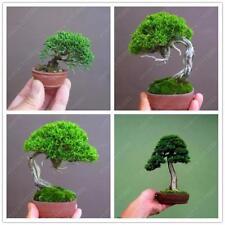 100Pcs Miniature Pine Seeds Bonsai Tree Seed Indoor Woody Plant Potted Pine Tree