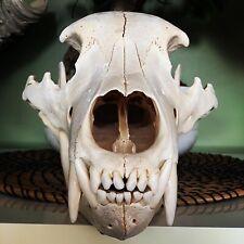 Crane Ours Alaska / Skull / Bear / Taxidermy / Taxidermie / Curiosite/ Curiosity