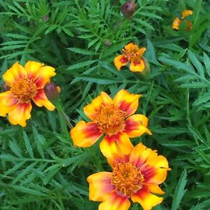 Marigold Seed Beautiful Flower 100 Seeds