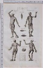 1788 Antiguo impresión anatomía Myology músculos Interior & Exterior Cutis