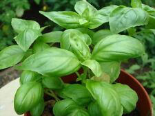 Basil Italian Genovese HEIRLOOM Seeds